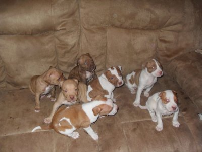Red Nose Pitbull Puppies Pictures. Images JEEP RED NOSE